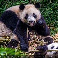 Chengdu Panda Base: come proteggere una specie in estinzione