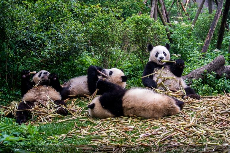 Panda Base 006